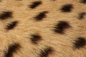 Cheetah fur background — Stock Photo