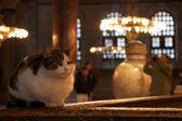 Cat in Hagia Sophia, Istanbul — Stock Photo