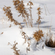 Snowy thistles — Stock Photo