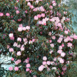 Rhododendron blossom at spring, Himalaya - Stock Photo