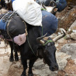 Yaks carrying loads, Everest trek, Nepal - Stock Photo