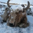 Yak after a snowfall in Himalayas, Nepal — Stock Photo