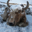 Yak after a snowfall in Himalayas, Nepal - Stock Photo