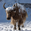 Himalayan yak going for warm sunlight, N - Stock Photo