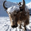 Yak closeup, Himalaya, Nepal - Stock Photo