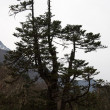 Old pine tree, Everest trail, Himalaya, — Stock Photo #1214020