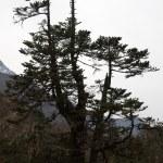 Old pine tree, Everest trail, Himalaya, — Stock Photo