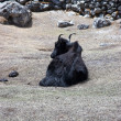 Resting yak, Everest trek, Himalaya, Nep - Stock Photo