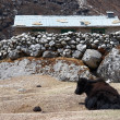 Yak farm, Everest region, Himalayas, Nep - Stock Photo
