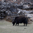 Grazing yak, Everest trek, Himalaya, Nep — Stock Photo