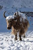 Himalayan yak going for warm sunlight, N — Stock Photo