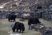 Grazing yaks, Everest region, Himalayas, — Stock Photo