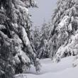 Winter fir forest — Stock Photo