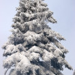 Fir covered with snow — Stock Photo