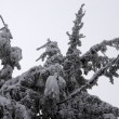 Fir branches covered with snow - Stock Photo