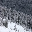 Photo: Mountain slopes with fir forest