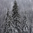 Winter fir forest on mountain slopes — Foto de Stock