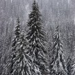 Winter fir forest on mountain slopes — Stock fotografie
