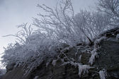 Bush on a rock covered with frost — Stock Photo