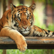 Tiger`s portrait — Stock Photo