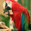 Macaw Parrot`s potrait — Stock Photo