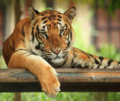 Tiger`s portrait — Photo