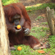Stock Photo: Orangutwith orange