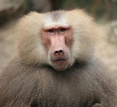Baboon`s portrait — Stock Photo