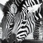 Постер, плакат: Two zebras