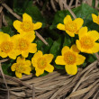 Royalty-Free Stock Photo: Caltha palustris