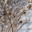 Sparrows in winter — Stock Photo