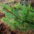 图库照片: Branch of fir tree