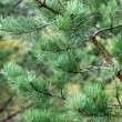 Close-up of pine branches — 图库照片