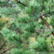 Close-up of pine branches — Foto de Stock   #1086053