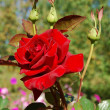 Stock Photo: Macro image of red rose