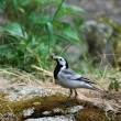 Stock Photo: White wagtail (Motacillalba)