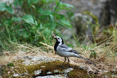White wagtail (Motacilla alba) — Stock Photo