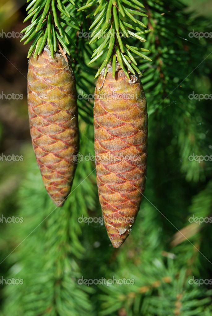 Large fir tree cones in front of green needles — Stock Photo #1085144