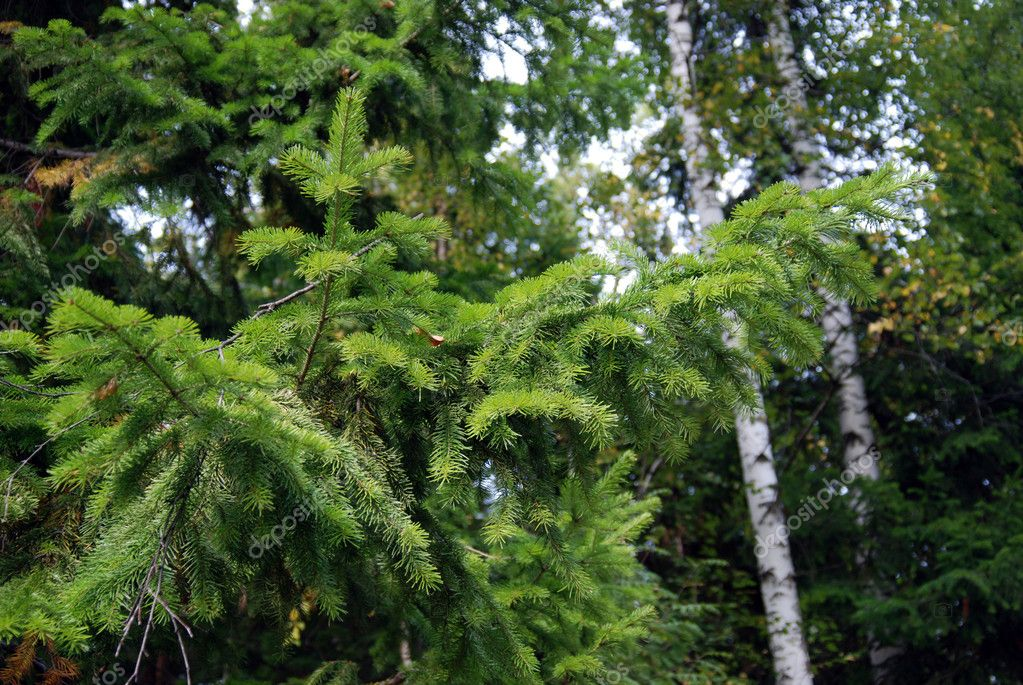 Young fir tree against the background of summer wood — Stock Photo #1085646