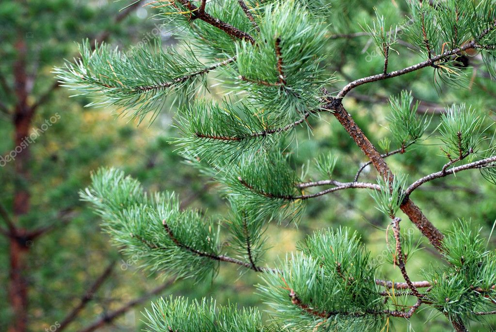 Green close-up pine branches with yellow needles in autumn forest — Stock Photo #1086053
