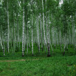 Stock Photo: Birch grove