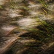 Stock Photo: Foxtail Barley (Hordeum jubatum)