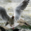 Gull (Larus ridibundus) — Stock Photo