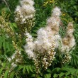 Stock Photo: Meadowsweet (Filipendululmaria)