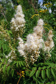 Meadowsweet (Filipendula ulmaria) — Photo