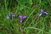 Iris ruthenica — Stockfoto