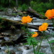 Stock Photo: Double buttercup (Trollius altaicus)