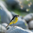 Stock Photo: Wagtail (Motacilla)