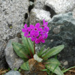 Primula  (Primula nivalis) - Stock Photo