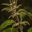 Great nettle (Urtica dioica) - Stock Photo